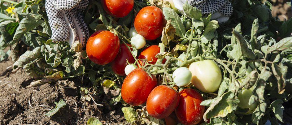 pomodoro-siccagno